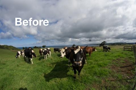 cows-56